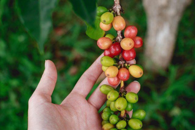 Кофейные ягоды созревают на ветке