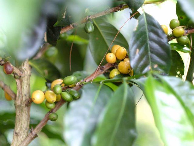 СЖелтые ягоды Катурры