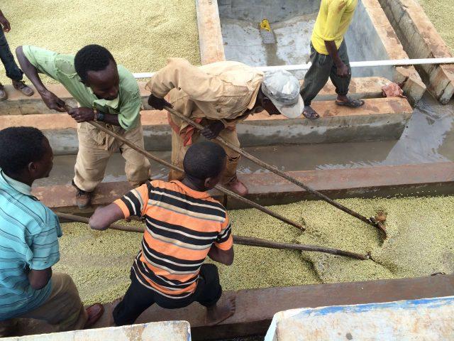 Коммуна трудится вместе над обработкой кофе.