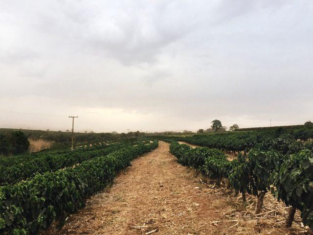 Кофейная плантация в Бразилии
