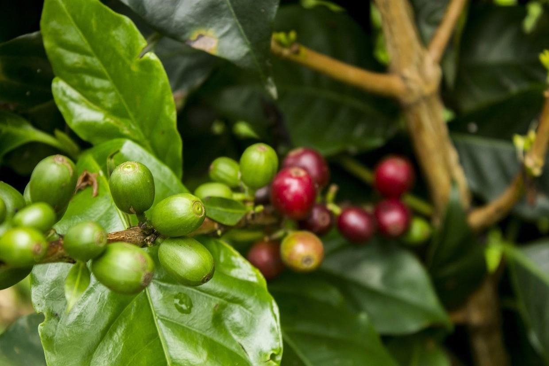 ягоды кофе на ветке