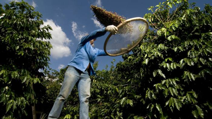 Фермер просеивает кофе