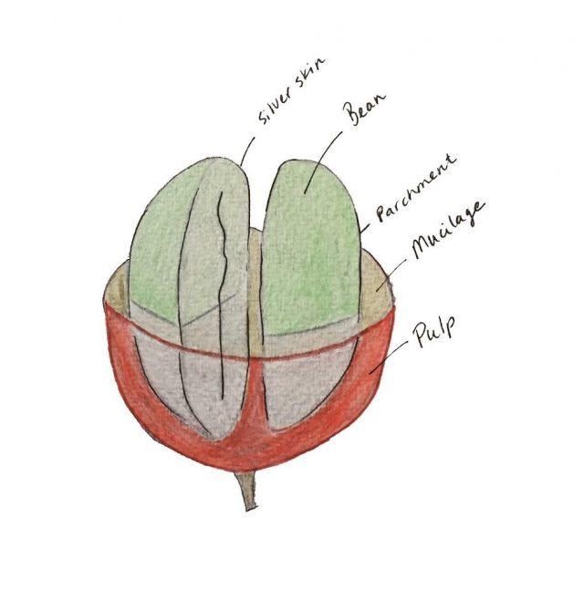 Кофейная ягода в разрезе