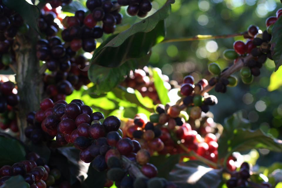 Бразилия кофейная ферма